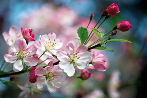 KOMBI: Blütenfest mit Oswald Sattler und Apfelblütenwanderung – April 2021