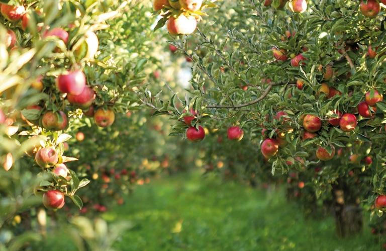 Apfelbäume Brixen Vahrn Melix